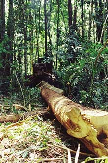 logging skidder with log in forest